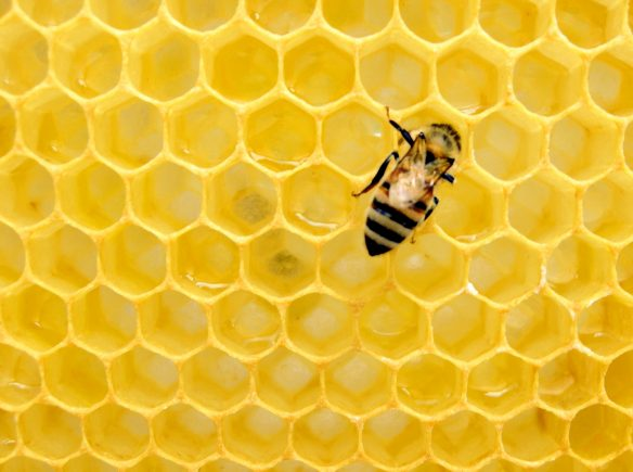 Bee in honeycomb hive